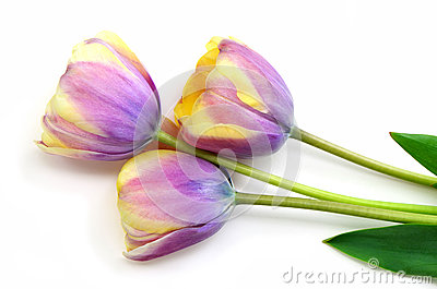 Striped yellow and mauve tulips