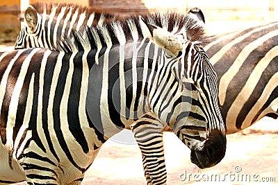 Striped zebra (Equus quagga)
