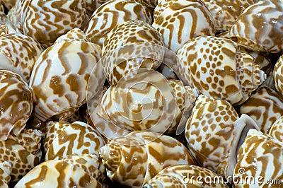 Stripes shellfish