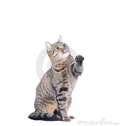 Stripy cat play isolated