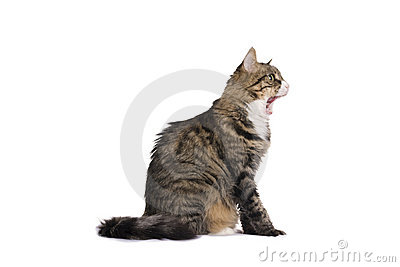 Stripy cat yawn isolated