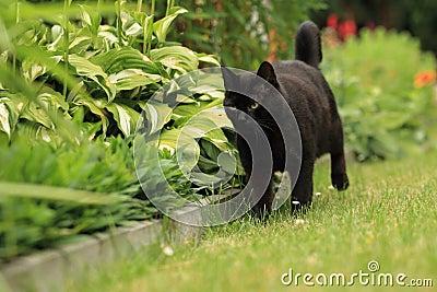 Strolling black cat