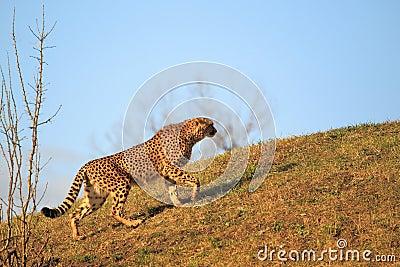 Strolling cheetah