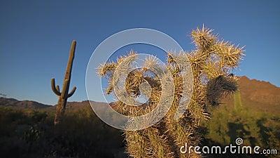 Strona Cholla kaktus zdjęcie wideo