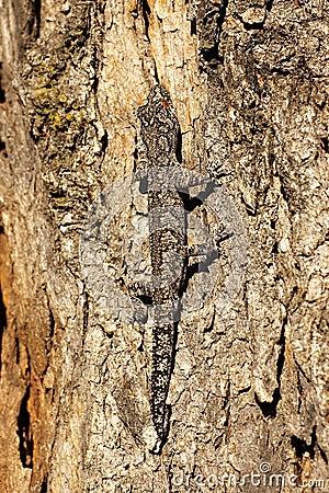 Free Strophurus Intermedius Lizard Royalty Free Stock Photography - 1995007
