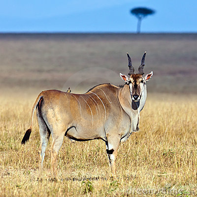 Störst africa antilopeland
