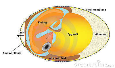 Structure bird egg. bird embryo.