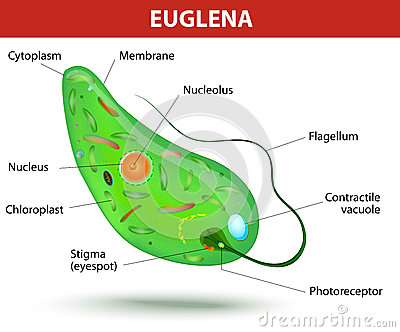 Structure of a euglena