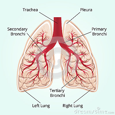 Anatomy Of Lung Bronchi furthermore 1295628996 5 dager igjen til eks as well Location Of The Liver In Your Body together with Surface Anatomy Of Lungs And Pleura moreover Human Anatomy Muscular System Diagram Body Muscle Diagram Legs Diagram. on labeled diagram of the human lungs