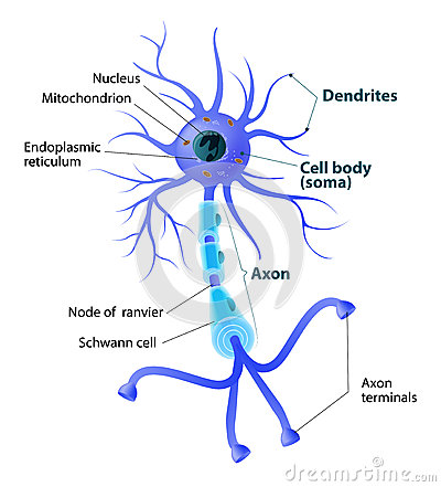 Introducing the Neuron