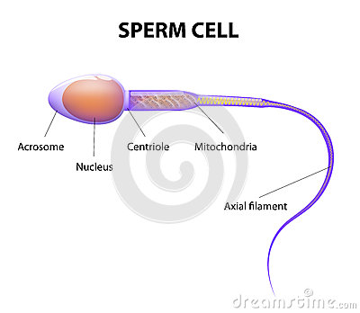 structure of a sperm cell stock vector image 43980330 : sperm cell diagram - findchart.co