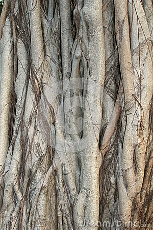 Free Structures Of A Banyan Tree In Close Up, China Stock Photography - 35942162