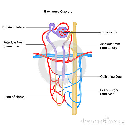 Stockfotos Struktur Von Nephron Image40657883 on amoeba diagram labeled