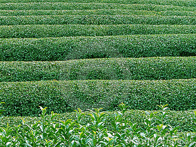 Struktura zieloną herbatę.