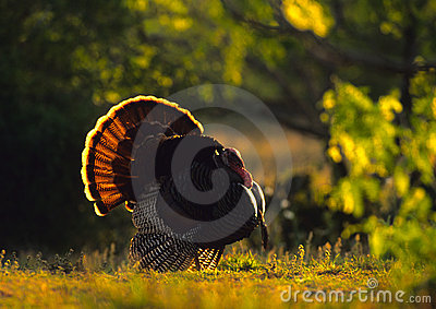 Strutting Wild Turkey Backlit
