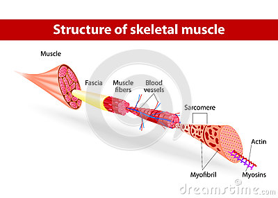 Struttura del muscolo scheletrico