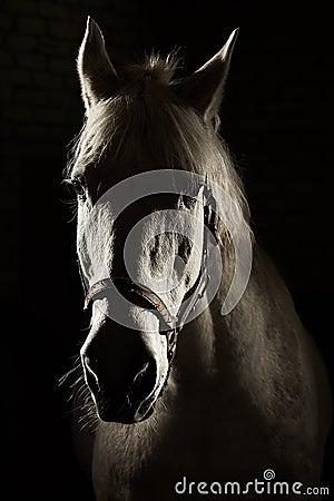 Studio contour backlight shot of white horse on isolated black background Stock Photo