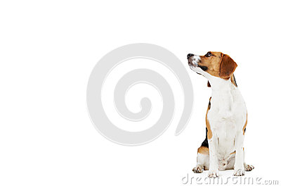 Studio Portrait Of Beagle Dog Against White Backgr