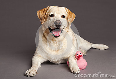 Labrador Dog Studio Portrait with Toy Duck