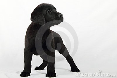 Studio portrait of a labrador puppy