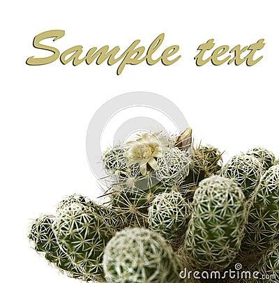Studio shot cactus mamillaria gracia