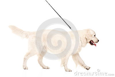 Studio shot of a retriever dog