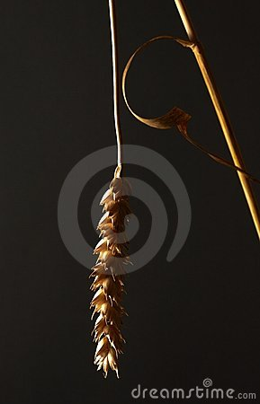 studio shot of a wheat stalk