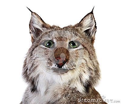 A stuffed lynx