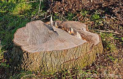 Only the stump remains of the big tree