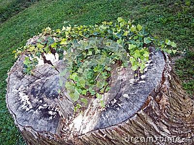 Stump with Vine