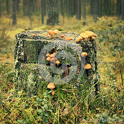 Free Stump With Moss And Honey Agaric Mushrooms. Autumn Stock Images - 78311154