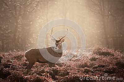 Stunning mature red deer stag in forest landscape