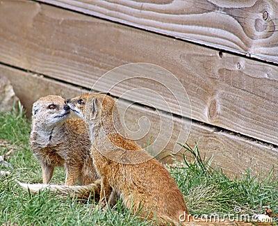 Stunning playful mongoose