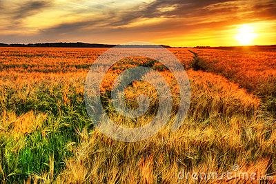 Stunning sunset over cereal field