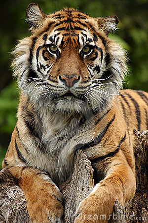 Stunning Tiger Closeup
