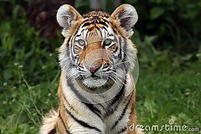Stunning Tiger Cub