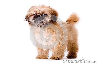 Sturdy pekingese dog