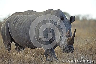 Sturdy Rhino