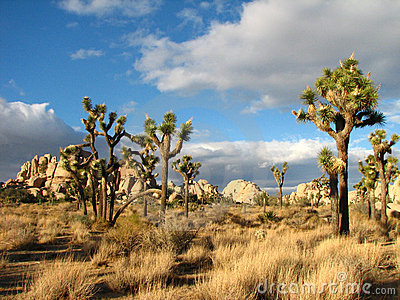 Stuuning otherworldly Joshua Tree 5
