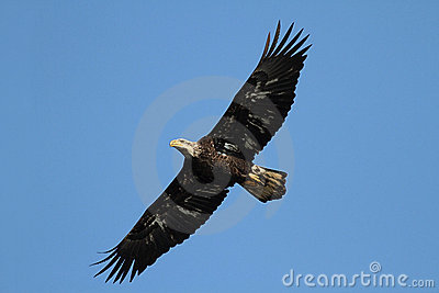 Sub-adult Bald Eagle (haliaeetus leucocephalus)