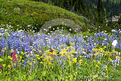 Sub Alpine Wildflowers