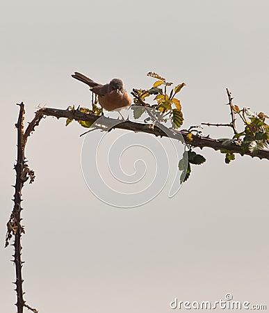 Subalpine Warbler on thorny bush