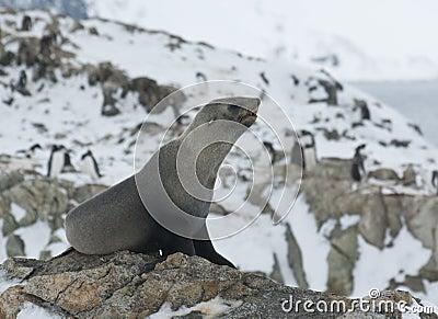 Subantarctic fur seal on a rock.