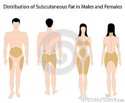 Subcutaneous fat in human