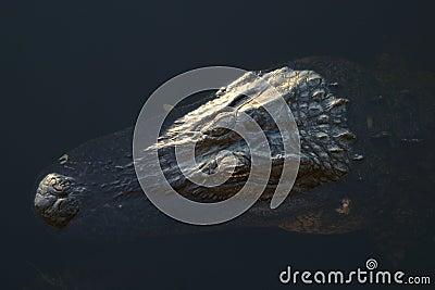 Submerged Aligator