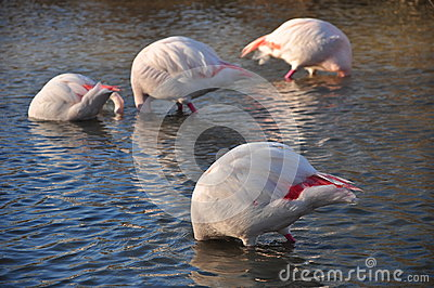 Submerged flamingos