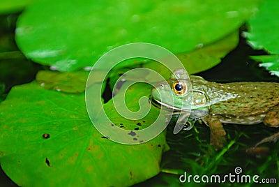 Submerged frog