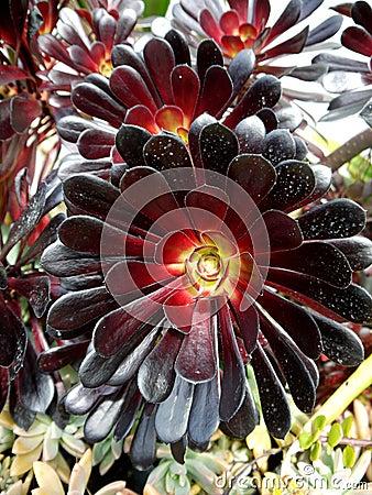 Subtropical garden: Aeonium arboreum plants