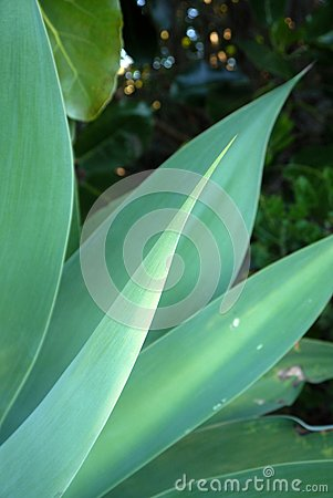Subtropical garden: agave leaves