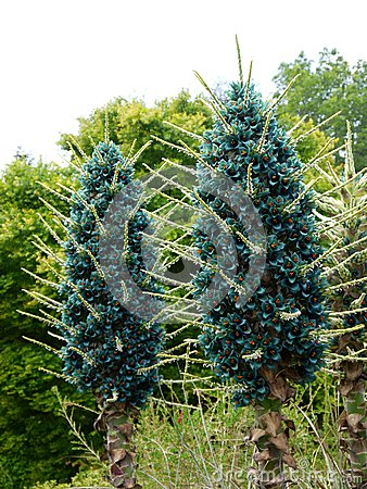 Subtropical garden: blue puya bromeliad flowers
